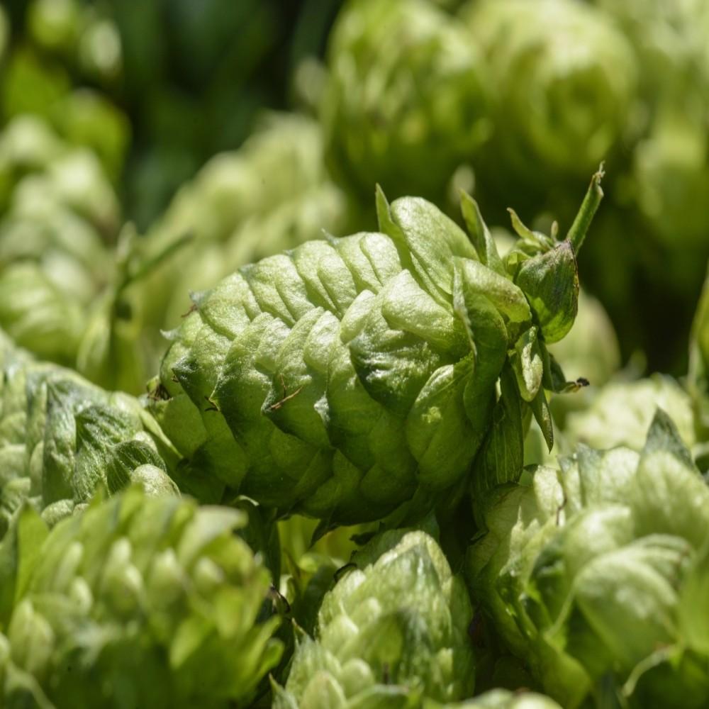 Bouclier whole hops