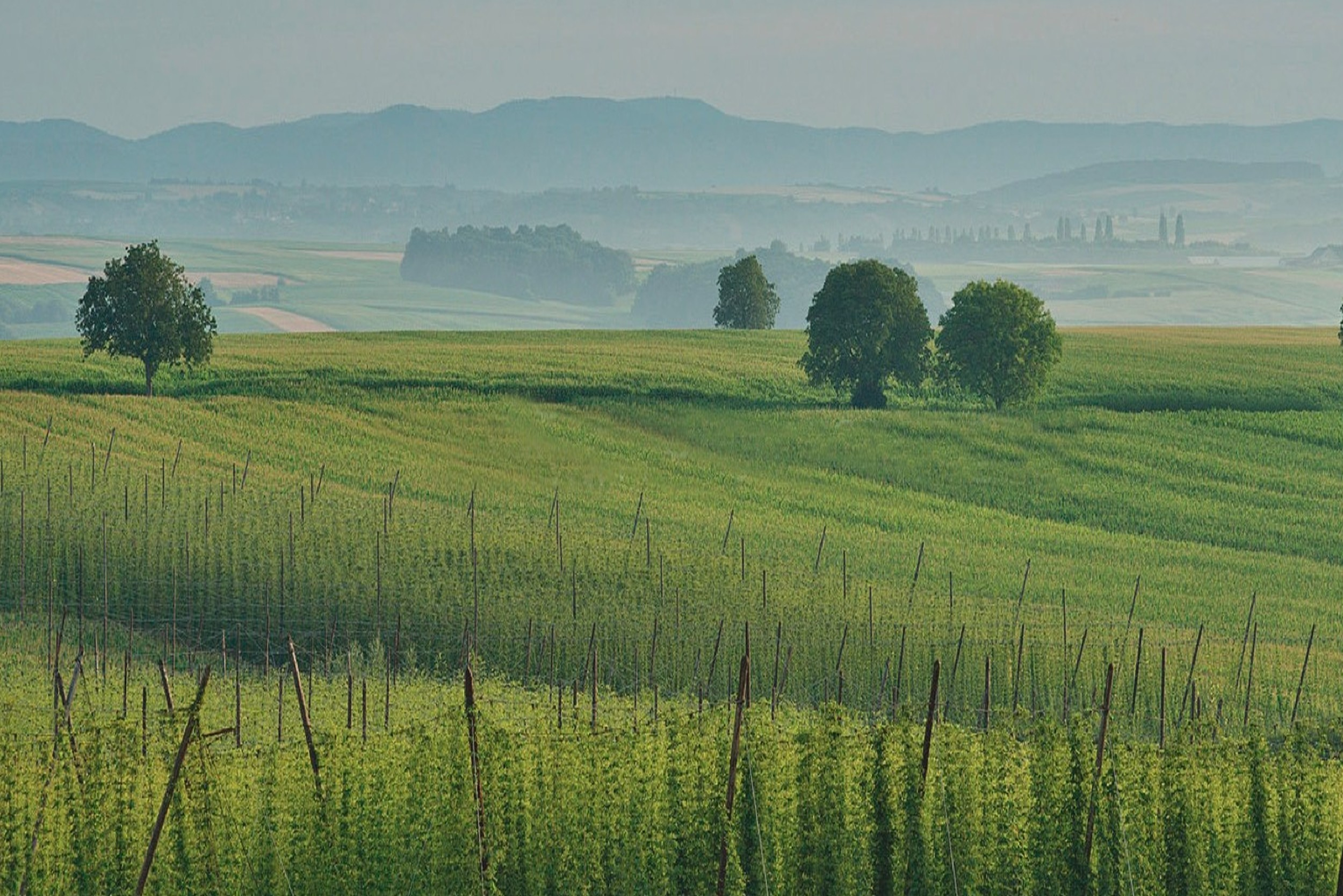 Alsace, a terroir and a climate, for a most refined hops.